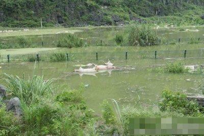 """养猪场围栏网挡住了被淹死的""""二师兄"""""""